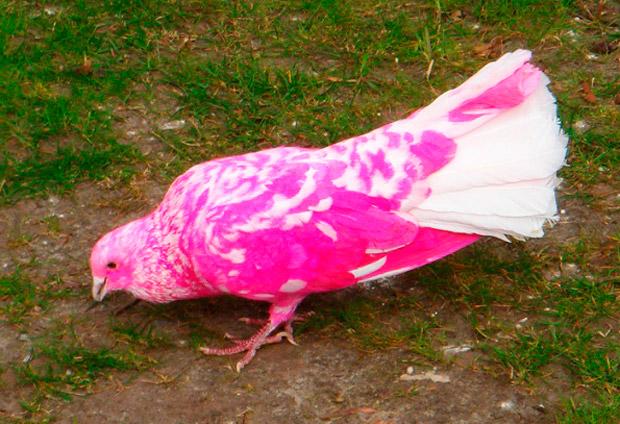 rozovyj-golub