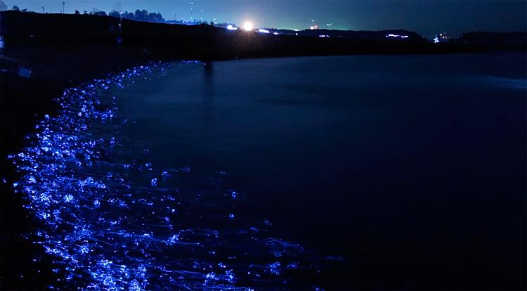 Светящиеся кальмары в заливе