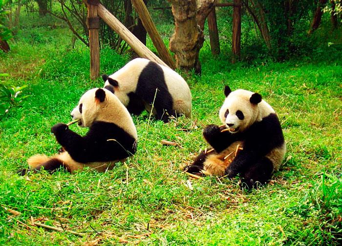 gigantskaya-panda